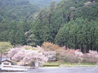 蜻蛉の滝周辺・桜