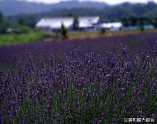 香山ラベンダーの丘 ラベンダー