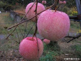 梶川リンゴ園 リンゴ