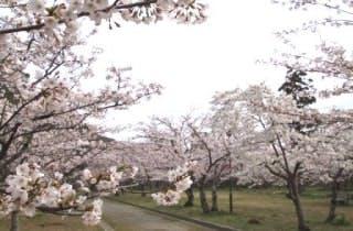 桜(指月公園)