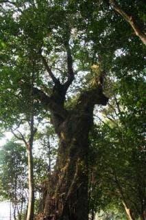 能満寺のシイノキ巨樹群