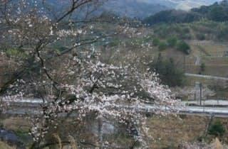 熊野山公園さくら