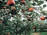 徳佐りんご園